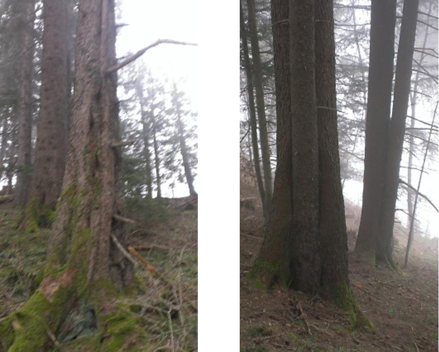 Zwei Bäume schlagen nahe beeinander aus und verwachsen zu einem Organismus