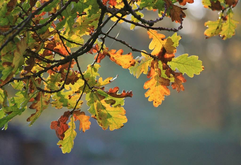 Blätter einer Eiche im Herbst